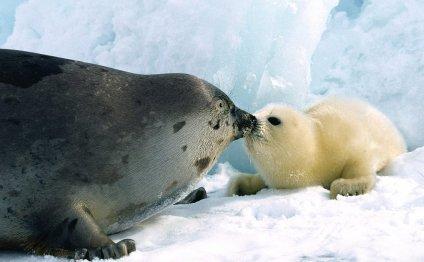 тюлениха и детеныш фото