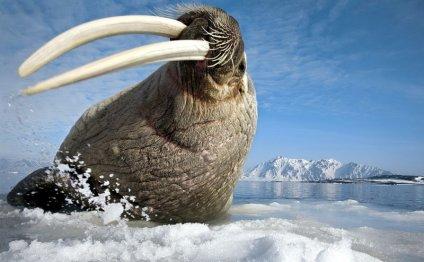 Картинки животные северного