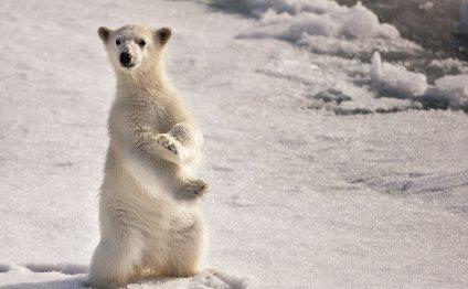 Умка на северном полюсе