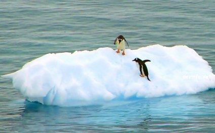 Пингвины в Арктике (7 фото)