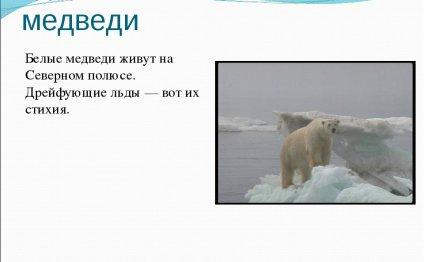 медведи Белые медведи